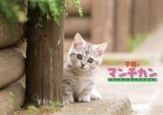 子猫のマンチカン2016カレンダー